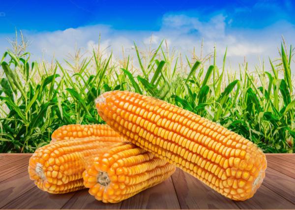 Yellow Corn Suppliers